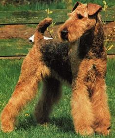 Airdale Terrier.. Another favorite dog breed.. I realllly want one looks like my girl Blossom god i miss her