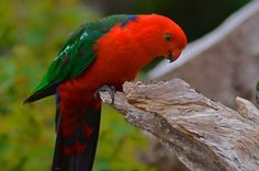 King Parrot Photo by Robin Dodd — National Geographic Your Shot