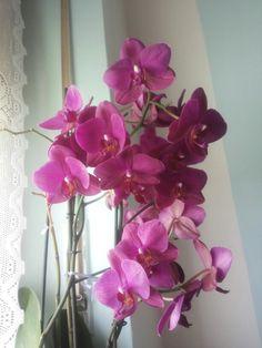 Il mio orgoglio orchidea