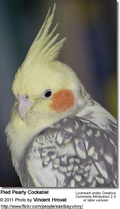 omg i had a bird that looked litterally EXACTLY the same as this and we called her birdy but she kept laying eggs but i dont understand that,, cause she had never been with another bird. and it made her really mean and then she died. :(