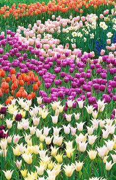 Tulip-Waves - By Henry Domke Fine Art