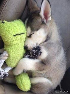 Siberian Husky - A friendly and playful dog, . - Siberian Husky – A friendly and playful dog, - Cute Little Animals, Cute Funny Animals, Cute Pets, Funny Dogs, Cute Dogs And Puppies, Doggies, Huskies Puppies, Puppies Tips, Fluffy Puppies