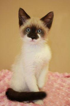 Siamese mix kitten
