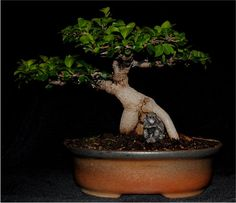 LENNARD'S BONSAI BEGINNINGS: Ginseng (Pot Belly) Ficus.