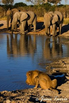 Amazing photo! / watering hole / elephants and king of the jungle