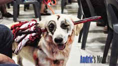 Mhershey - Zombie Dog Costume #dog #dogs #dogcostume #goldenretriever #halloween