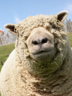 Cheeky chap - one of our South Down sheep