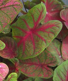 Caladium 'Brandywine' Burgundy colored leaves distinguish Brandywine from other red caladiums. Large, thick leaves with green on the outer leaf and wine red in the center almost touch the ground. A good choice for a red caladium in the sun, because the dark red leaves hide any burn from the sun.