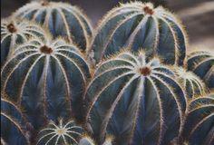 Balloon cactus - notocactus magnificus