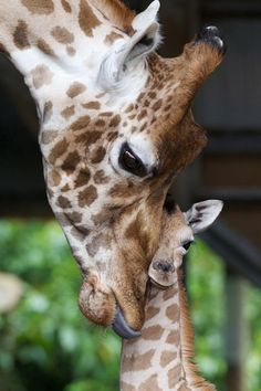 Mother giraffe and baby giraffe.  (QUESTIONS:  I've been running across so many touching giraffe photos lately ... Are giraffes particularly affectionate?  Or particularly photogenic? Or both?)