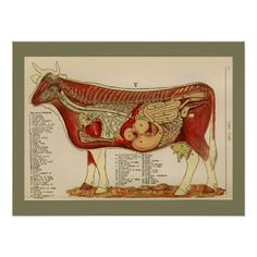 1917 Vintage Cow Internal Anatomy Chart Poster