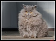 Fluffy Kitty with Crazy Yellow Eyes