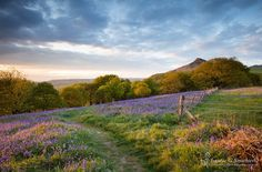 Path Through The Bluebells To Roseberry Topping