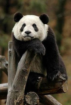 What are you thinking about? Panda bro