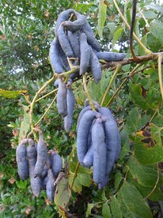 Dead Man's Fingers (Decaisnea fargesii) are edible fruits native to Eastern Asia. The fruit contains a transparent glutinous, jelly-like pulp which is edible. The flavour is described as sweet and similar to watermelon.