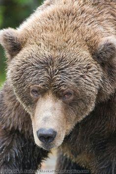 Brown bear, Katmai National Park, Alaska.    >this guy looks grumpy<