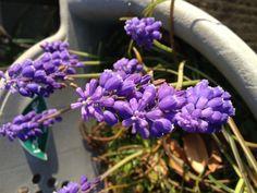 紫のちょうちん