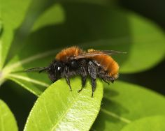 The Tawny Mining Bee is sure pretty!