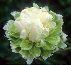 PAEONIA lactiflora 'Green Halo'. Binnyplants.com