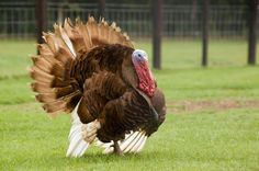 Burbon red turkey