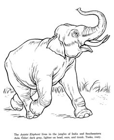 Asian Elephant drawing and coloring page
