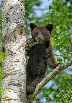 Bear Cub in Tree by Halex