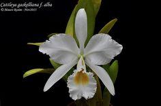 Cattleya gaskelliana f. alba | Mauro Rosim | Flickr