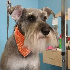 Roshi #tucsondoggrooming #wagsmytail #doggrooming A well groomed dog is a well loved dog! Call us today to schedule your dog grooming appointment 520-744-7040