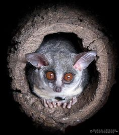 1000+ images about bush baby on Pinterest | Primates, The ...