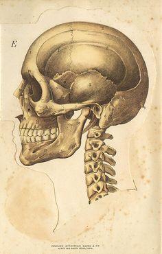 Skull Notecard Halloween Handmade Vintage Image by RTFX on Etsy Head Anatomy, Human Anatomy Drawing, Science Illustration, Medical Illustration, Book Illustration, Illustrations, Skeleton Anatomy, Skull Anatomy, Medical Drawings