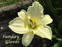 Sunday Gloves photo by HappyGoDaylily