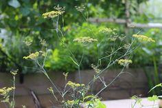 marie-viljoen-gardenista-fennelterrace1