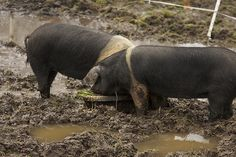 Top 5 Post SHTF Livestock For Preppers -By shtfprepardness on July 23, 2013