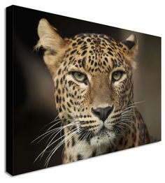 Cheetah Stare by Animal Art Canvas Printers, Canvas Art Cheap Prints by www.canvastown.co.uk