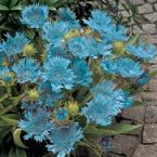 """Blue Danube Stokesia  Unusual, lacy, sky-blue flowers on 12-18"""" stems. Blooms in sun or shade. Lovely for beds or borders. Long lasting as cut flower. Low-care perennial.   Product Information: Light: Full Sun, Deer Resistant Bloom Time: Mid Summer to Frost,  Zones: 5 to 9"""
