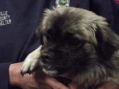 Monkey Dog is an adoptable Pekingese Dog in Shelbyville, IN. UPDATE:  Monkey will be featured Thursday, February 28th in the Shelbyville News as pet of the week! Monkey Dog (because that is what he lo...