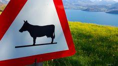 Das Berner Oberland: Was für eine tolle Aussicht :D Moose Art, Animals, Vacation Travel, Amazing, Nice Asses, Animales, Animaux, Animal, Animais