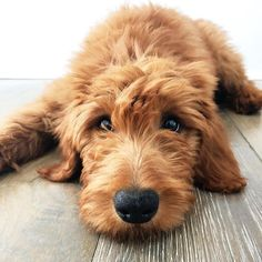 What is the Green Bean Dog Diet? Golden Labradoodle, Mini Goldendoodle, Golden Doodle Dog, Golden Doodles, Cute Puppies, Dogs And Puppies, Doggies, Cute Dogs Breeds, Types Of Dogs