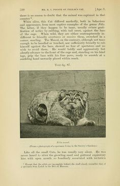 Pallas's cat, Proceedings of the Zoological Society of London, 1907, Jan.-April.