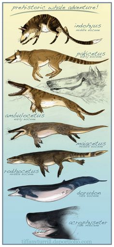 The Evolution of the whale Interesting how the whale evolves out of legs while we evolved into them!
