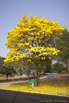 Série com o Ipê-amarelo em Brasília, Brasil - Series with the Trumpet tree, Golden Trumpet Tree, Pau D'arco or Tabebuia in Brasília, Brazil - 13-09-2012 - IMG_4800_2 by Flávio Cruvinel Brandão, via Flickr