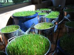 Here are the instructions I used to grow the wheatgrass. I used terracotta pots instead. Great directions!