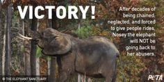 Long-suffering elephant Nosey, who was rescued after a decade of abuse and exploitation in a traveling circus, finally has a new home that will ensure her continued freedom. Support this huge victory and the protection of this innocent elephant.