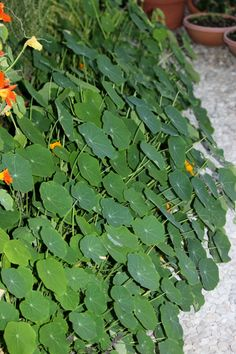 These nasturtiums are growing on the floor of my greenhouse right through the pebbles...volunteer!  Some of the leaves are more than 6-inches in diameter!  Volunteer plants healthier than the planted ones, right now!  Weird for sure!