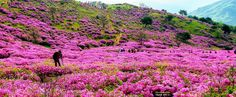 Photographer in the flower bed... Royal azalea on the  Mt Hwangmae by Tiger Seo on 500px.