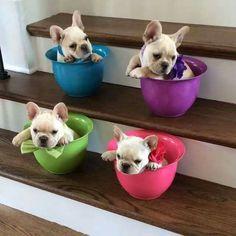 Teacup French Bulldog Puppies #Buldog #frenchbulldogpuppy
