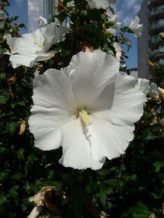 fleurs tahiti | le taina est une trés jolie fleur blanche à l