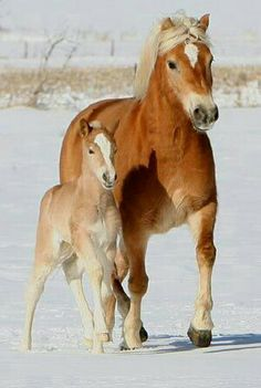 Haflinger mare and foal in the snow