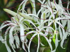 #Crinum #asiaticum var. #pedunculatum