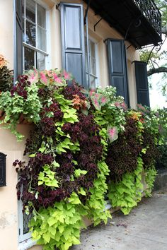 Window Box planted with lime green sweet potato vine (var. Marguerite), 2 varieties of coleus (purple and red), caladium and white impatiens
